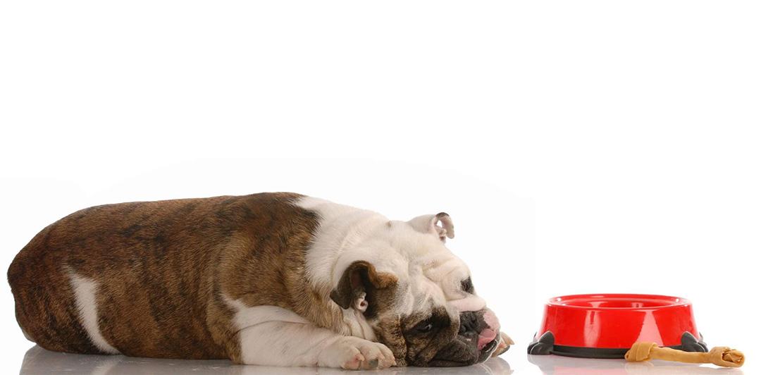 Bonding During Pandemic - Sleeping Bulldog